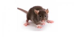 Ratten homepagina